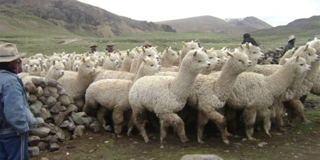 Empadre controlado en alpacas sistema INIA